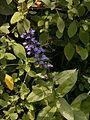 Lobelia-siphilitica-2014-08-30-Cranberry-05.jpg