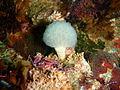 Lollopop ascidian at Partridge Point P7190502.JPG
