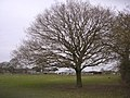 Lone oak tree in a field at Moorlands - geograph.org.uk - 135984.jpg