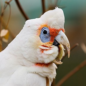 Portrait of a Long-billed Corella