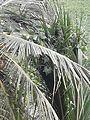 Luffa plant.jpg