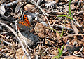 Lycaena phlaeas - Common Copper butterfly.jpg