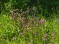 Lychnis flos-cuculi A.jpg