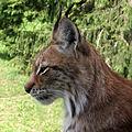 Lynx lynx-3.JPG