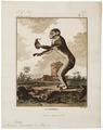 Macacus ecaudatus - 1700-1880 - Print - Iconographia Zoologica - Special Collections University of Amsterdam - UBA01 IZ20000047.tif