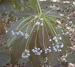 Mackinlaya confusa fruit.jpg
