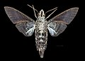 Macroglossum tenebrosa MHNT CUT 2010 0 217 Kuranda Queensland Australia Male ventral.jpg