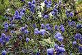 Madeira, Palheiro Gardens - Ceanothus thyrsiflorus IMG 2317.JPG