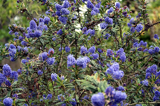 california lilac ceanothus thyrsiflorus plant care guide. Black Bedroom Furniture Sets. Home Design Ideas
