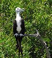 Magnificent Frigate Bird ( Juvenile ) - Flickr - Andrea Westmoreland (1).jpg