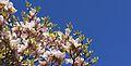 Magnolia Grandiflora (4531630851).jpg