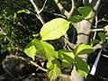 Magnolia kobus 1zz.jpg