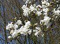 Magnolia kobus J1.jpg