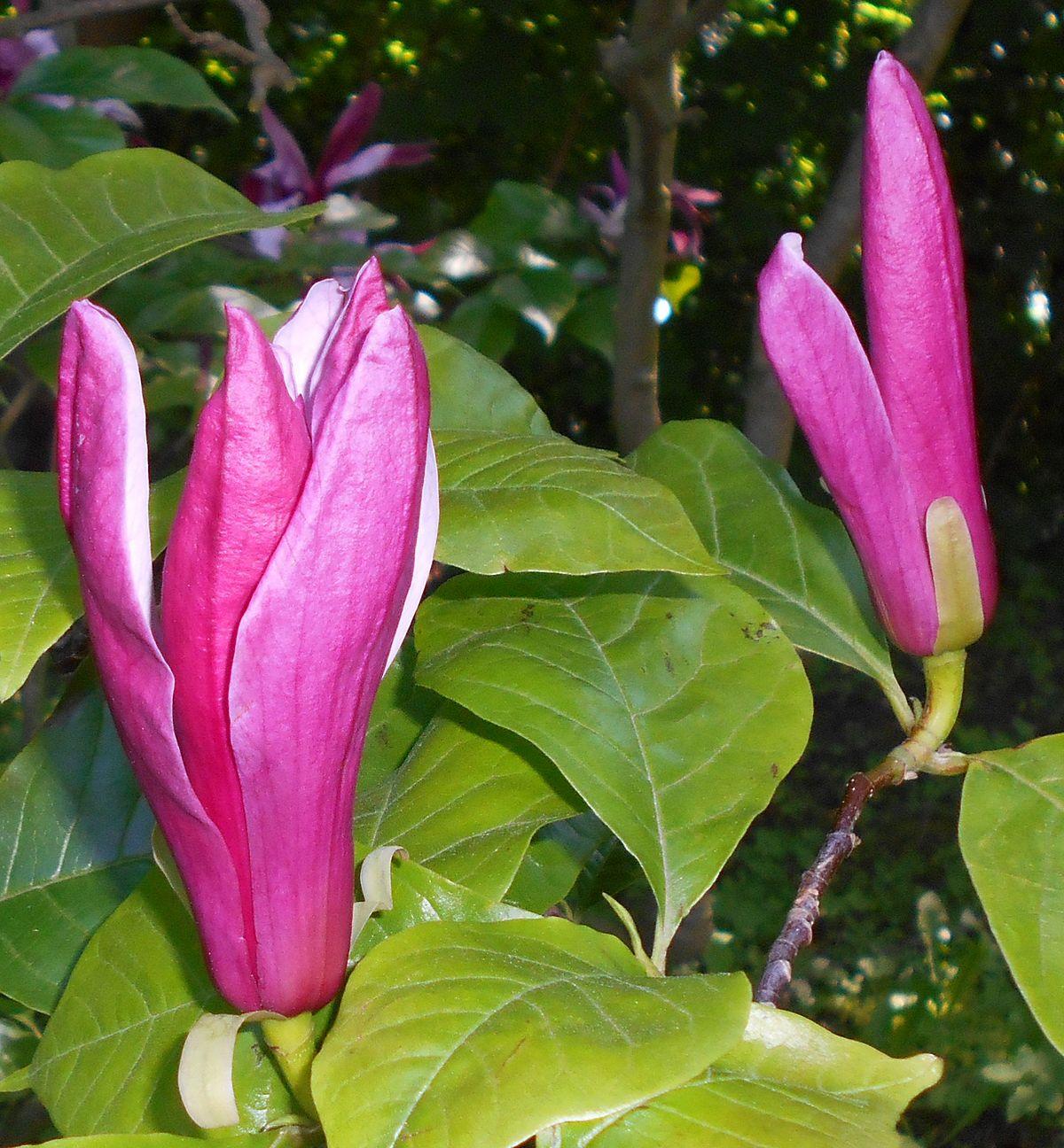 Magnolia liliiflora   Landscape Plants   Oregon State University