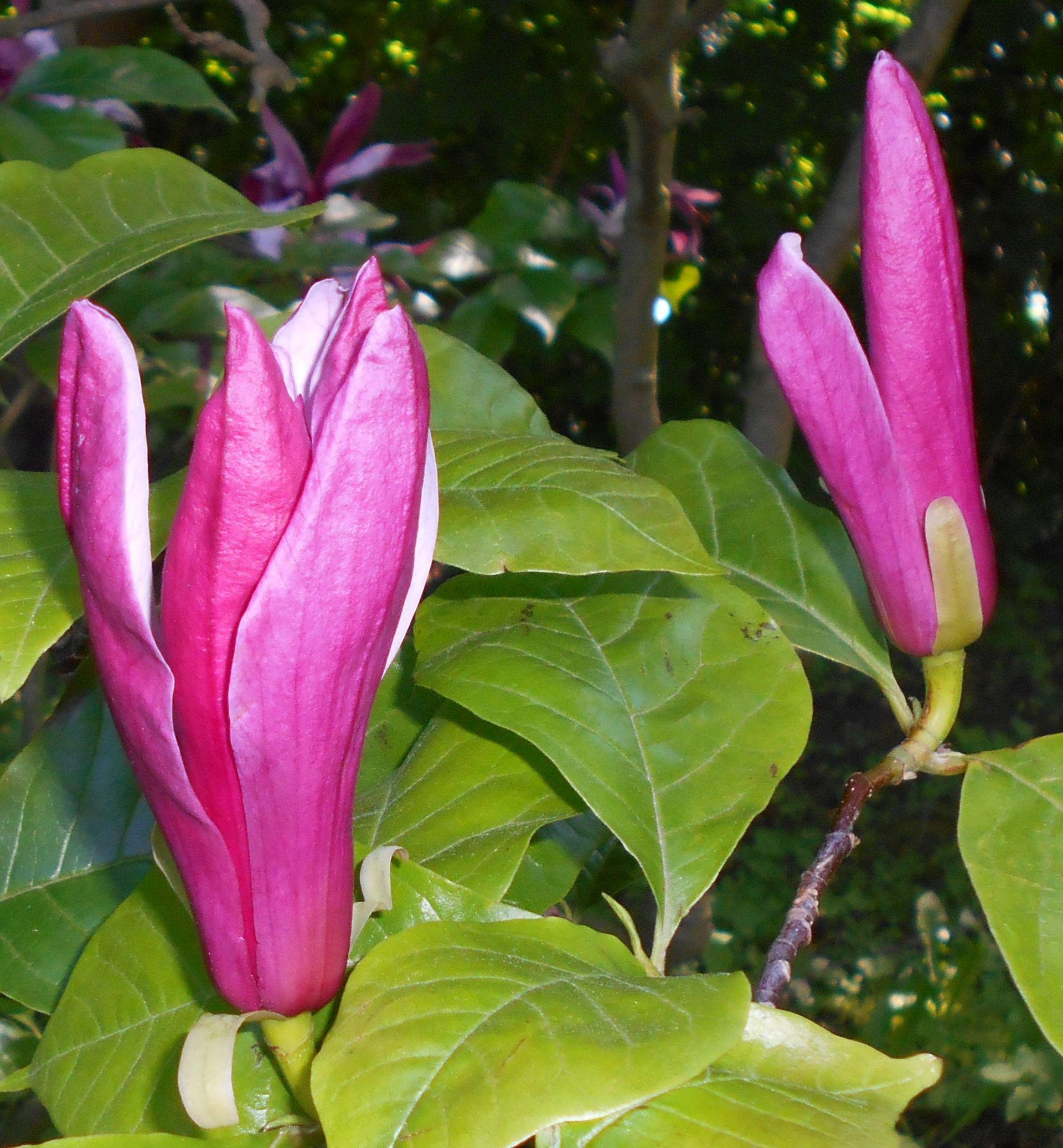 Magnolia Liliiflora Wikispecies