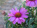 Magnus Superior - Flickr - Swallowtail Garden Seeds.jpg
