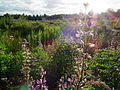 Magnuson wetlands lupine sunshine june 2012.JPG