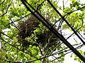 Magpie nest, Irvine.JPG