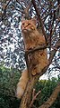 Main coon tree.jpg