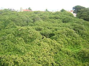 Maior cajueiro do mundo - View from above the foliage of the tree- located in Parnamirim, Rio Grande do Norte (Brazil).