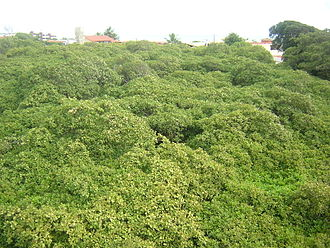 Cashew of Pirangi - View from above the foliage of the tree- located in Parnamirim, Rio Grande do Norte (Brazil).