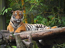 Tiger resting on an artificial log platform