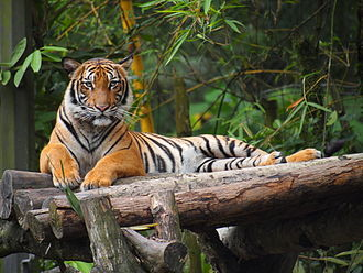 Malayan tiger - A Malayan Tiger at the National Zoo of Malaysia.