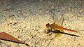 Male Scarlet Percher flank (16386434002).jpg