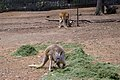Male and female Red Kangaroos (Macropus rufus).jpg