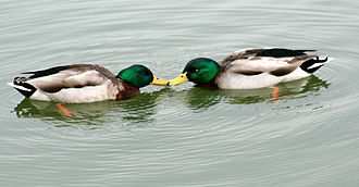 Homosexual behavior in animals - Two male mallards, Anas platyrhynchos