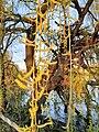 Malpighiales - Salix babylonica - 10.jpg