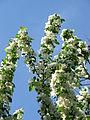 Malus sieboldii blossom 03.JPG