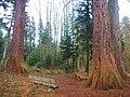 Mammutbaum beim Waldlehrpfad bei Sulz am Neckar, Dieser Mammutbaum wird in Nordamerika bis zu 4000 Jahre alt und 100 m hoch, Riesenmammutbaum Sequoia, Sequoiadendron giganteum, 1865 auf Veranlassung König Wilhelms i - panoramio (3).jpg