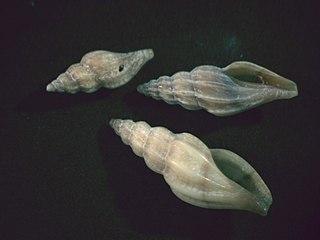 <i>Mangelia attenuata</i> species of mollusc