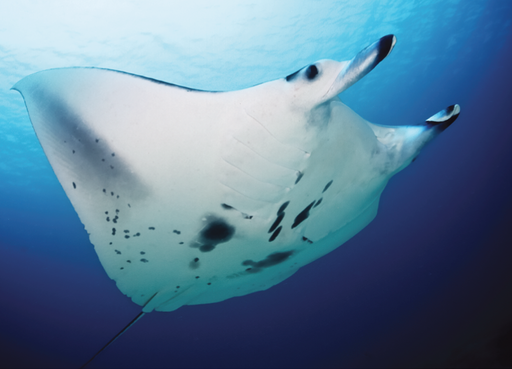 Manta alfredi cruising - journal.pone.0046170.g002A