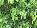 Maprounea guianensis 2.jpg
