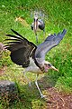 Marabou Storks, Lake Hawassa (10902664475).jpg