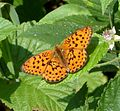 Marbled Fritillary - Flickr - gailhampshire (1).jpg