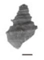 Margarya melanioides shell 2.png
