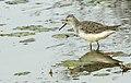 Marsh sandpiper002.jpg