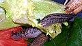 Maryland Great Grey Slug.jpg