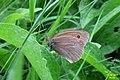 Meadow brown (VysPom) (26207733729).jpg