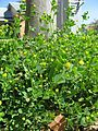Medicago lupulina plant5 (10589140676).jpg