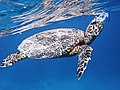 Meeresschildkröte (Eretmochelys imbricata)..DSCF1220OB.jpg