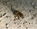Megachile (Chalicodoma). Possibly M. pyrenaica - Flickr - gailhampshire.jpg