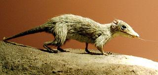 Morganucodonta Extinct order of mammaliaforms