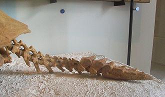 Meiolania - The tail of Meiolania platyceps (AMNH 29076)