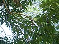 Melaka-rambutan-tree-2270.jpg