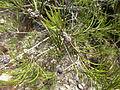 Melaleuca borealis 03.JPG