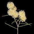 Melaleuca hamata - Flickr - Kevin Thiele.jpg